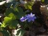 anemone-transsilvanica-fuss-heuff-1
