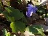 anemone-transsilvanica-fuss-heuff-2