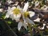 helleborus-niger-l-4