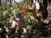 helleborus-purpurascens-w-et-k-2