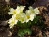 primula-vulgaris-huds-1