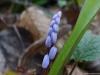 scilla-vindobonensis-speta-1