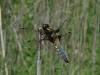 libellula-depressa-h-medium
