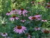 dscf5081-medium-customechinacea-purpurea