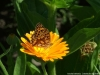 dscf5098-medium-customcalendula-officinalis
