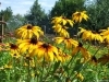 dscf5101-medium-customrudbeckia-hirta