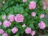 dscf5143-medium-customhortenzia-macrophylla