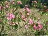 dscf5146-medium-customnerium-oleander