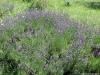 dscf5172-medium-customlavandula-angustifolia
