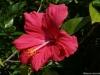 hibiscus-rosa-sinensis-custom