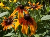 rudbeckia-sp-custom