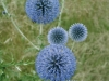 echinops-ruthenicus-3-custom