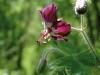 geranium-phaeum_1-custom