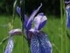 iris-sibirica_2-custom