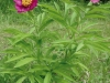 paeonia-officinalis-subsp-banatica-sbk_2-custom