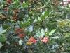 ilex-aquifolium-custom2