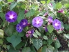 ipomoea-purpurea-custom2
