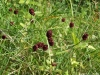 sanguisorba-officinalis-custom2
